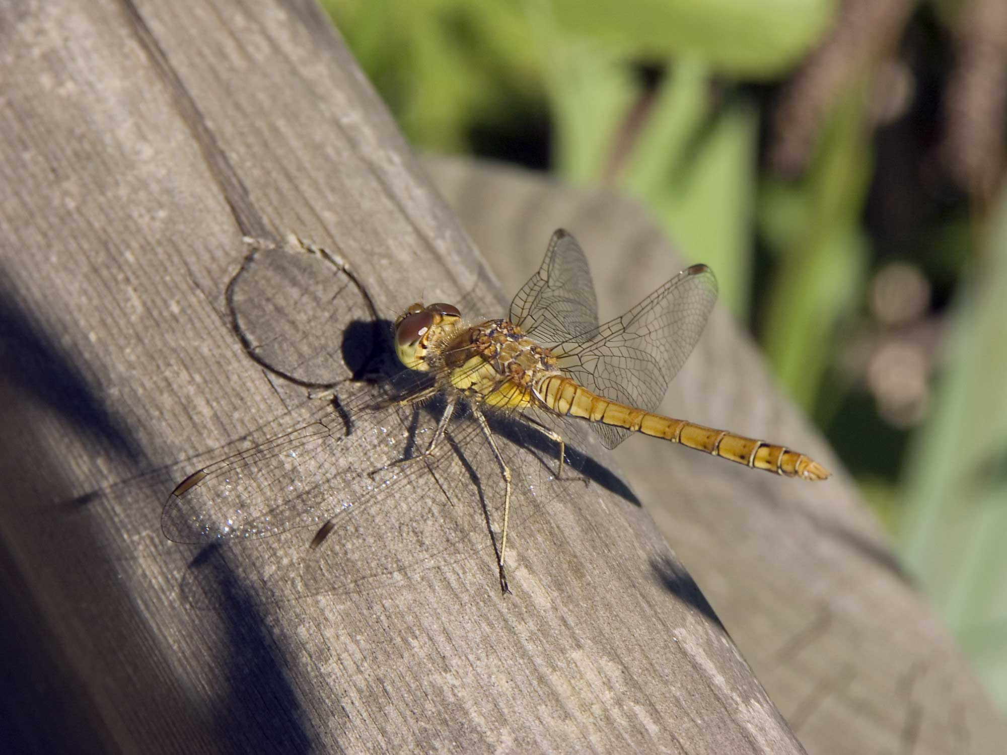 Pictures of Dragonflies