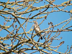 Fieldfare in the oak tree branches