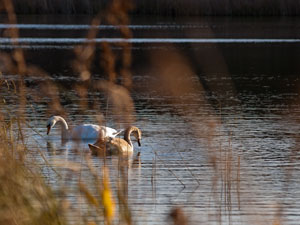 Two swans through the reeds - Upton Broad
