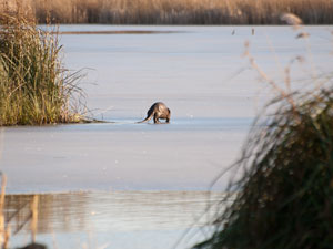 Otter on the Ice - Upton Great Broad