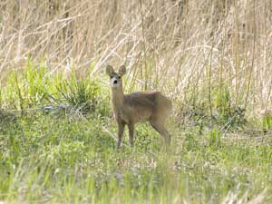 Chinese Water Deer in the reeds