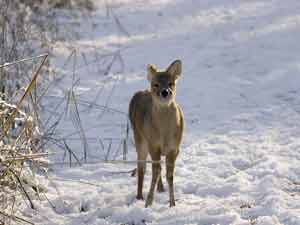 Chinese Water Deer in snow