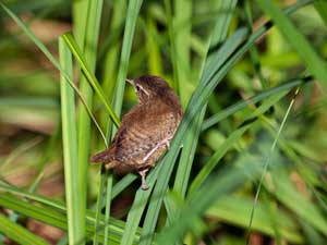 Young Wren perched on sedge in the carr at Upton Fen
