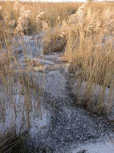 Frozen dyke and reeds