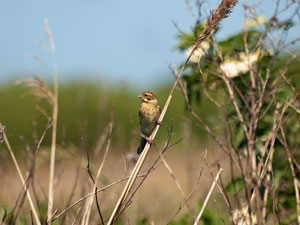 Female Reed Bunting perched on a reed by Fleet Dyke