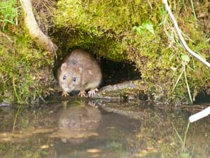 Not a water vole in its dykeside hole: only a rat
