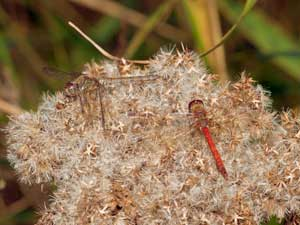 Pair of Common Darters on down